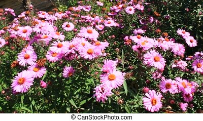 red beautiful asters in the garden - big bush of beautiful...