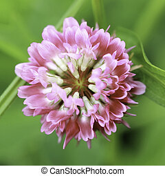 Red clover close