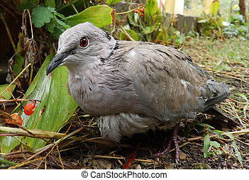 Wild pigeon with a fly - A wild pigeon with a fly on its...