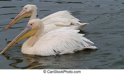 Two pelicans on water