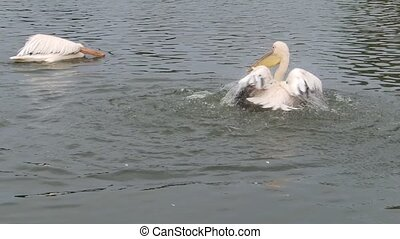 Pelican getting wet - A pelican getting wet