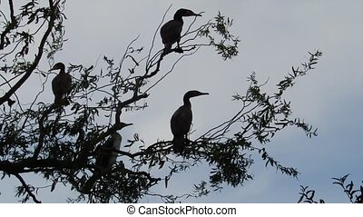 Cormorants - Some cormorant in a tree