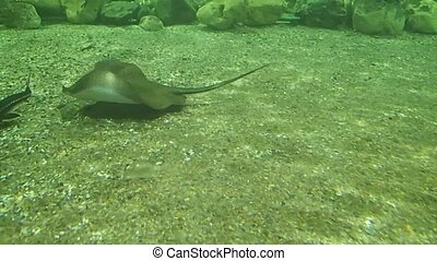Stingray and sturgeons - A stingray and some sturgeons