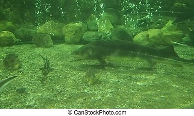 Sturgeong swimming - Some sturgeons swimming