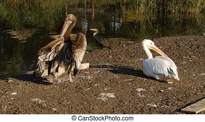 Young and older pelican near water - A young and an older...