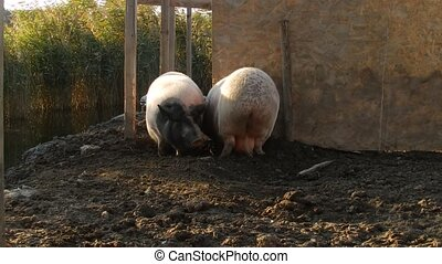 Pigs fighting - Two pigs fighting