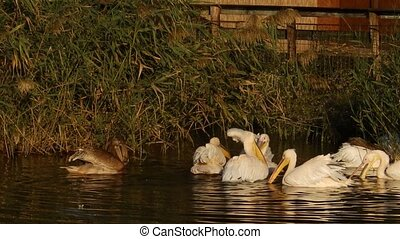 Group of pelicans on water - A group of pelicans on water