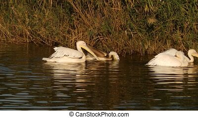 Pelicans on water - Some pelicans on water