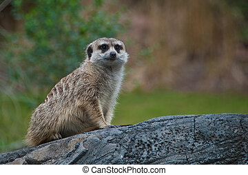Meercat - Beautiful photo of a meercat