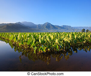Taro plants at Hanalei - Reflection of Taro plants in...