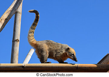 ring tailed coati - Ring tailed coati with long tail. Wild...