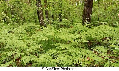green forest with trees and fern - landscape with green...