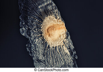 Winged tree seed isolate - Macro detail of winged seed...