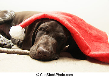 Dog dreaming of Santa - German shorthaired pointer puppy, 10...