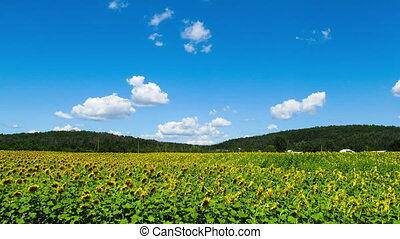 Sunflowers in a field in the background moving clouds -...