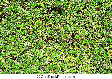 Close-up texture of green trimmed bush.