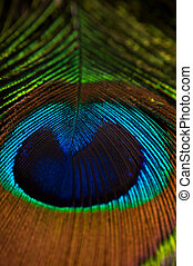 peacock feather photographed with studio lighting at home