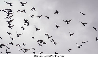 Large Flock of Birds - A flock of birds against the sky Slow...