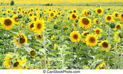 Real Nature - large sunflower field at sunny day