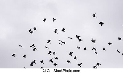 Flock of Birds Circling in the Sky - A flock of birds...
