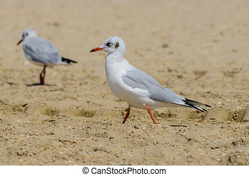 Nestling seagulls goes on sand on the beach