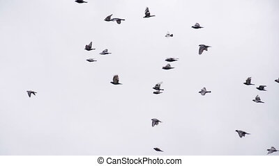 Large Pigeon Flock in the Sky