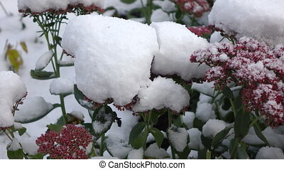 Pink flowers with snow 3