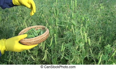 Man picking peas in wicker basket - Man gardener picking...
