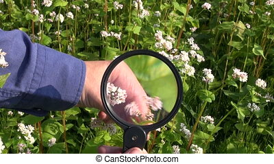 buckwheat looking magnifying glass - Farmer agronomist...