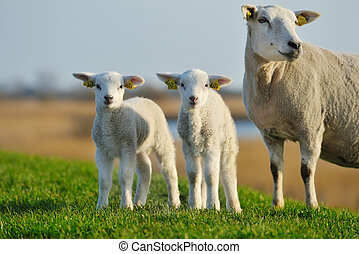mignon, agneaux, Printemps
