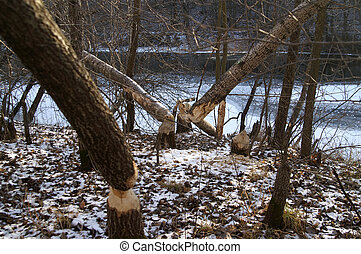 Beavers and forest - Forest after the beavers job