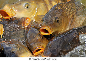 lots of carp fish in the water