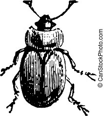 Sap beetle, vintage engraving.