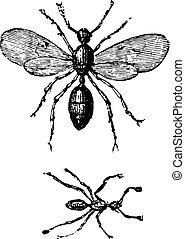 Ants, vintage engraving. - Ants, vintage engraved...