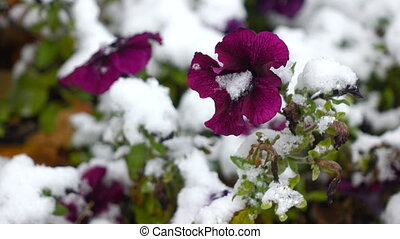 Purple flowers with snow