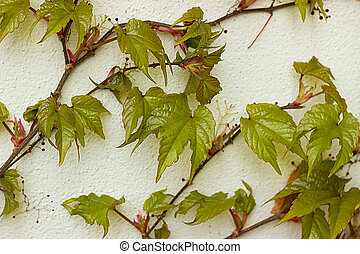 Parthenocissus tricuspidata on the wall