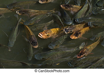 Fish Pond - Fishpond with multiple fish at surface