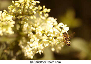 bee pollinating white flower in the garden