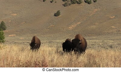Bison - a herd of bison in Yellowstone National Park Wyoming