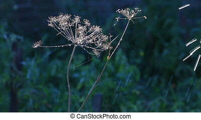 Drops of water falling on a dry dill on sunset, sunrise,...