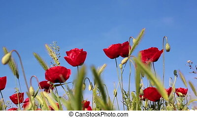 Blooming red poppies flowers natural background - Blooming...