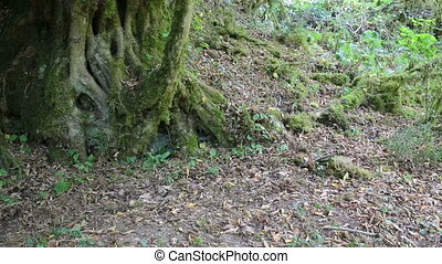 Mossy trees at wild forest, natural background