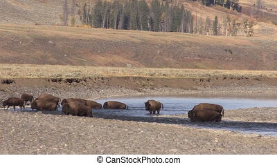 Herd of Bison - a herd of bison in Yellowstone National Park...