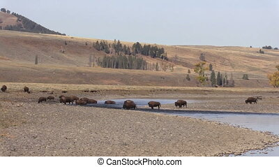 Bison Herd - a herd of bison in Yellowstone National Park...