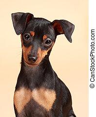 CÙte,  pinscher, cão