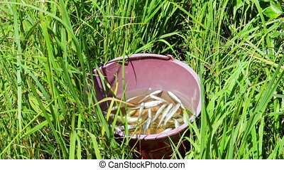 The caught fish in a bucket - Small fish, perched floating...