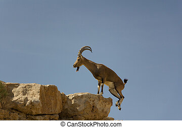 Capra jumping against blue sky - Capra jumping onto a rock...