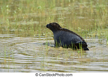 Ladoga ringed seal in the lake Ladoga near Valaam island