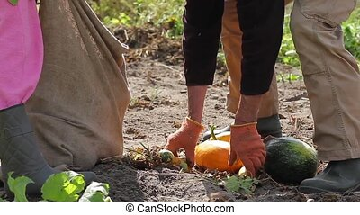 Harvesting on the farm. Farmer harvests in the bag....