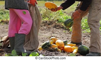 Farmer lays the zucchini in the bag - Grandfather with his...
